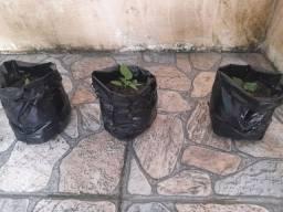 Pimenta Carolina reaper: Mudas, sementes e em natura