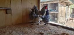 galinhas brahma