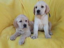 Labrador Fêmeas Filhotes (Disponíveis)
