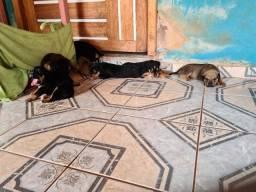 Filhotes Pitweiler (Pitbull + Rottweiler)