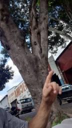 Poda árvores