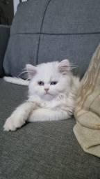 Gato Persa - Filhote Branco Macho