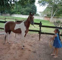 Cavalo pampa de castanho marcha picada