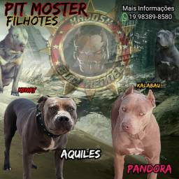 FILHOTES DE PIT MONSTER