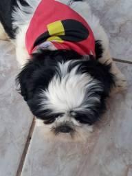 Vendo Cachorrinho Shitzu
