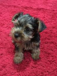 Vendo Yorkshire Terrier Macho