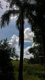 4 Palmeira Imperial tirar por conta