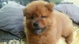 Chow-Chow Fêmea Vacinada e Vermifug. c/exame Hemograma da filhote -WhatsApp(86) 99465-4263