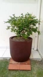 Vaso grande marrom com Jabuticaba / jabuticabeira arvore frutífera