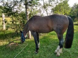 Cavalo crioulo chileno