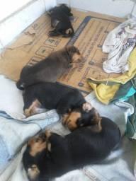 Filhotes de Dachshund ( Salchicha)