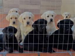 FIlhotes de Labrador Retriever - Pedigree CBKC