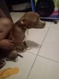 Filhote Pit Bull 6 meses