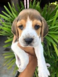 Criação com amor beagle lindos com pedigree e vacina importada