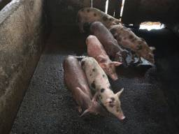 Porco, javaporco, leitao, cachaço
