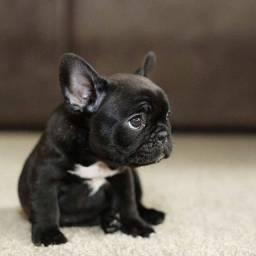 BUlldog francês machinho com garantia de vida e pureza em contrato