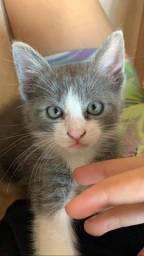 Doa-se gato fêmea filhote