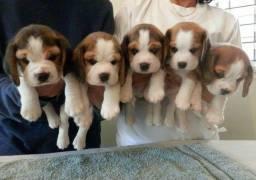 Filhotes de beagle 13 polegadas porte pequeno