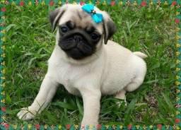 Lindos pugs com pedigree e garantia ac cartão