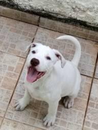 Cachorro pittbull