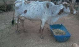 Vaca gir 2cria valor 2.200