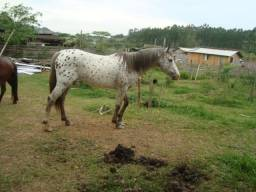 Cavalo Mangalarga Paluzzo