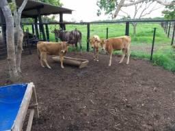 Vende segue quatro Vacas curraleiras