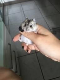 Hamster Anão Russo coloridos