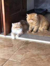 Gato persa fêmea padrão show