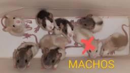 Filhotes Ratos Twister, genética mansa, PRONTOS PARA ENTREGA