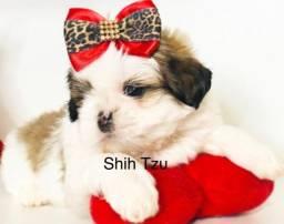 (Shih Tzu) Filhote Mini!!! Com Pedigree e Garantia de Saúde