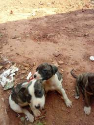 Vende-se filhote de pitbull com fila brasileiro