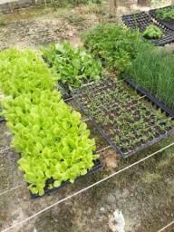Mudas de Hortaliças e Vegetais