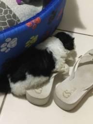 Cachorro (macho) Shitzu