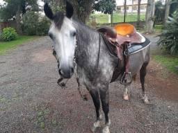 Cavalo crioulo tordilho máquina no laço 3 anos vai ensiado
