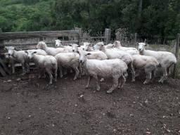 Ovelhas com cria