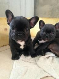 Bulldog Francês macho ja adestrado no tapete higiênico e vermifugado