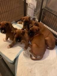 Filhotinhos de Boxer prontos para o seu novo lar, com gaantias inclusas!