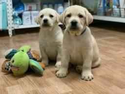 Labrador,  com suporte veterinário.