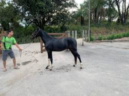 Potro Mangalarga Pampa registrado