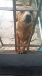 Urgente doação cachorro