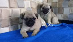 Pug, pequeno porte. Com pedigree, garantia de saúde e recibo