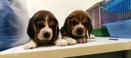 Beagle 13 polegadas Filhotes vacinados Pedigree cartão 5x