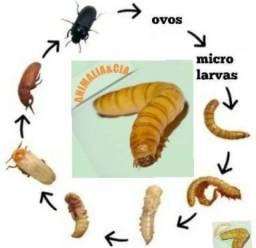 Tenebrio molitor promoção 300 larvas vivas