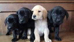 Labrador lindos filhotes disponíveis fêmea e macho