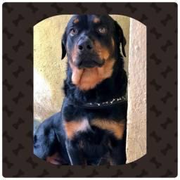 Rottweiler com 12 meses