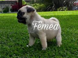 Pug Fêmea!! Entrega imediata! (41)99223-7419