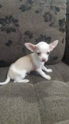 Pinscher x Chihuahua