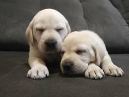 Labrador filhotes à pronta entrega e garantias de vida em contrato.