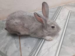 Vendo  um filhote de coelho de 3 mes  de vida dócio